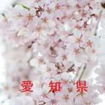 桜の開花情報 愛知