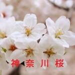 桜の開花情報 神奈川