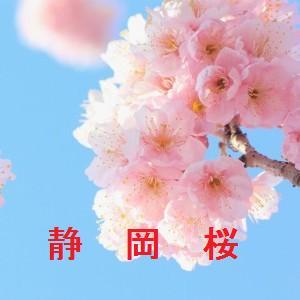 桜の開花情報 静岡