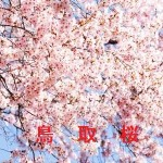 桜の開花情報 鳥取