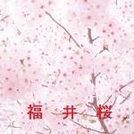 桜の開花情報 福井