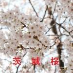桜の開花情報 茨城