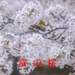 桜の開花情報 富山