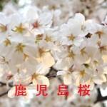 桜の開花情報 鹿児島