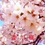 桜の開花情報 香川