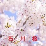 桜の開花情報 石川