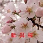 桜の開花情報 新潟