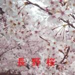 桜の開花情報 長野