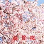 桜の開花情報 滋賀