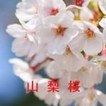 桜の開花情報 山梨