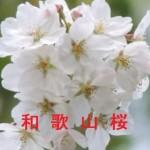 桜の開花情報 和歌山