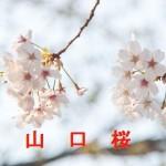 桜の開花情報 山口