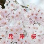 桜の開花情報 兵庫