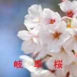 桜の開花情報 岐阜
