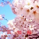 桜の開花情報 高知