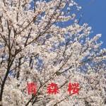 桜の開花情報 青森