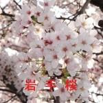 桜の開花情報 岩手