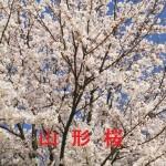 桜の開花情報 山形