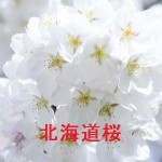 桜の開花情報 北海道