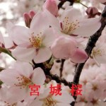 桜の開花情報 宮城