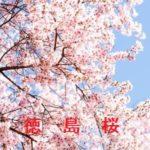 桜の開花情報 2015 徳島 その他の桜