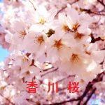 桜の開花情報 2016 香川