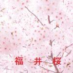 桜の開花情報 2016 福井