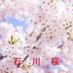 桜の開花情報 2017 石川 その他の桜