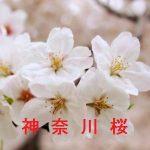 桜の開花情報 2017 神奈川 その他の桜