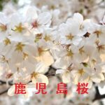 桜の開花情報 2017 鹿児島 その他の桜