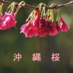 桜の開花情報 2017 沖縄 ヒカンザクラ