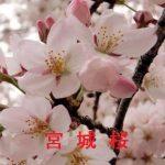 桜の開花情報 2017 宮城 その他の桜