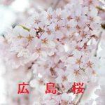 桜の開花情報 2015 広島