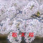 桜の開花情報 2017 栃木 その他の桜