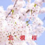 桜の開花情報 2017 島根 その他の桜