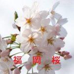 桜の開花情報 2017 福岡
