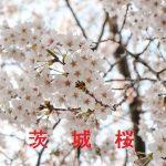 桜の開花情報 2017 茨城