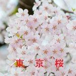 桜の開花情報 2017 東京 23区以外