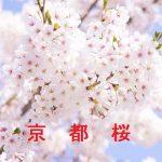 桜の開花情報 2017 京都(京都市内)