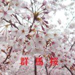 桜の開花情報 2017 群馬