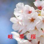 桜の開花情報 2017 岐阜