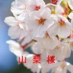 桜の開花情報 2017 山梨
