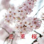 桜の開花情報 2017 三重