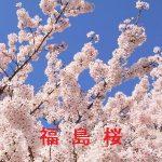 桜の開花情報 2017 福島