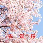桜の開花情報 2015 佐賀