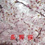 桜の開花情報 2017 長野