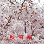 桜の開花情報 2017 秋田