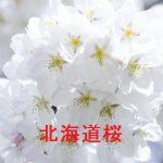 桜の開花情報 2017 北海道
