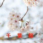 桜の開花情報 2015 千葉